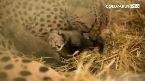 First in vitro cheetah cubs unveiled at Columbus Zoo [Video]