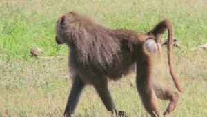 Baboon Male Escapes Vasectomy Operation, Takes Two Females With Him [Video]