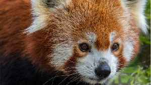 Red Pandas Might Be Two Species [Video]
