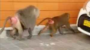 Baboons stun onlookers after Sydney escape [Video]