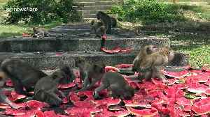 Starving monkeys fed with watermelon as coronavirus halts tourism in Thailand [Video]
