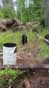 Close Encounter with a Young Black Bear [Video]