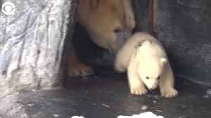WEB EXTRA: Polar Bear Cub Takes First Steps Outside [Video]