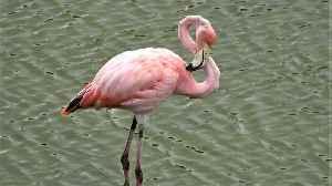 Beautiful pink flamingo eats shrimp in the Galapagos Islands [Video]
