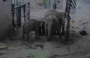 Endangered Asian elephant born at British zoo [Video]