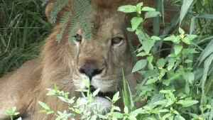 Video of Starving Lion Goes Viral, Outrage Prompts Return to Former Carer [Video]