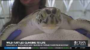 Wild Turtles Clinging To Life [Video]