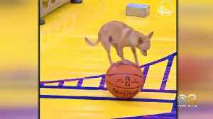 Chihuahua Shows Off Skills At Lakers-Warriors Game [Video]