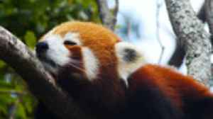 A new study shows that the adorable red panda is actually two different species [Video]