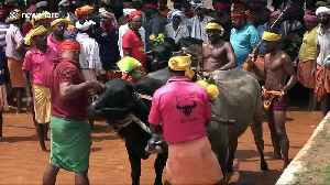 India's controversial Kambala race sees buffaloes sprint through watery trenches [Video]