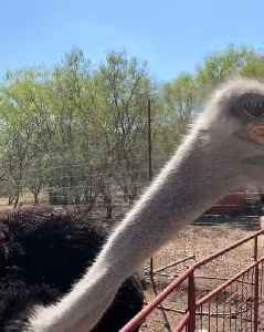 Ostrich Snaps At Camera [Video]