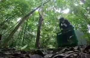 Rare albino orangutan living independently one year after release [Video]