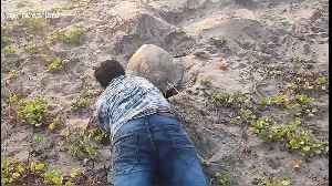 Animal activist helps crippled sea turtle lay its eggs on south Indian beach [Video]