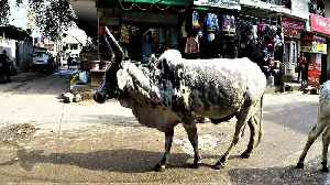 Stray cows wander busy street in India for bread handouts [Video]