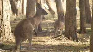 Kangaroos Enjoy a Free Meal After Their Habitats Were Destroyed by Wildfires [Video]