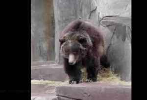 Sleepy bear rearranges straw in her habitat [Video]