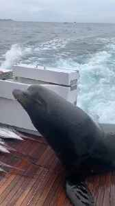 Sea Lion Hops on Boat Looking for Fish [Video]