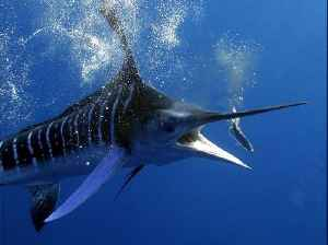 Majestic 4K underwater footage of a striped marlin [Video]