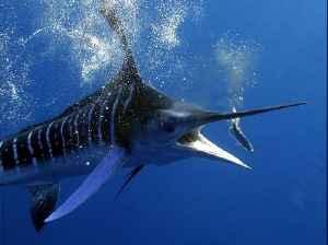Majestic 4K underwater footage of a striped marlin [Video]