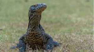 A Female Komodo Dragon Gave Birth To 3 Babies Without A Male Partner [Video]