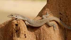 Tiny Godzillas: City Lizards Developed Heat-Resistant Bodies [Video]