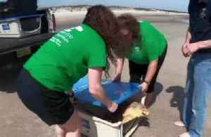 Rehabilitated turtles get back to the ocean [Video]