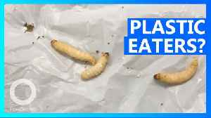 Plastic-eating caterpillars could help tackle pollution [Video]