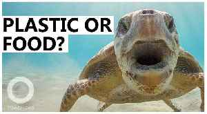 Turtles think ocean plastic smells like food, study finds [Video]