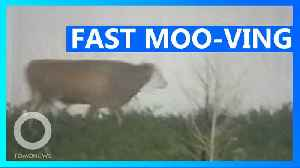 Fast moo-ving cow on the loose, wanted by police [Video]