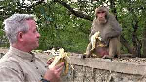 Tourist casually shares bananas with his wild monkey friends [Video]