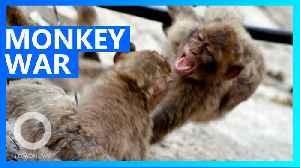 Rival monkey gangs wage street war over banana [Video]
