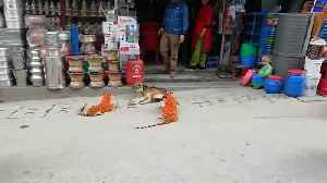 Sleeping Dog Gets Scared of Toy Tigers Upon Waking [Video]
