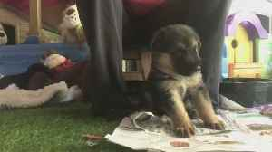 German Shepherd puppy service dog learns how to pick up keys [Video]