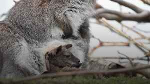 Joey emerges from its mother's pouch [Video]