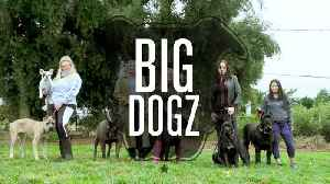 Cane Corsos - The $10,000 Dogs Of War [Video]