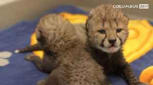These Cheetah Cubs Born Through In Vitro Fertilization Are Super-Adorable [Video]