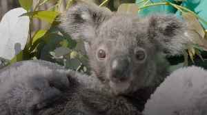 Baby koala thrives with specialist care in San Diego [Video]