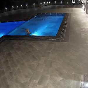 Giant bear is caught on camera sneaking into this spa's pool multiple times [Video]
