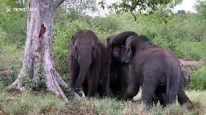 Herd of elephants frolicking at national park in Sri Lanka [Video]
