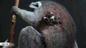 Rare Twin Baby Lemurs Born At UK Zoo [Video]