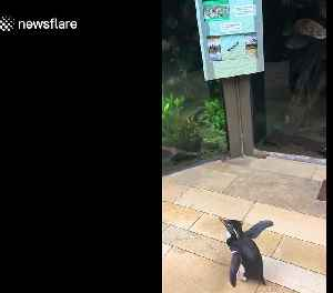 Penguins in the US have 'field trip' to visit other animals in zoo before COVID-19 lockdown [Video]