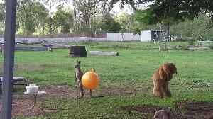 Kangaroo Joey Loves Her Toys [Video]