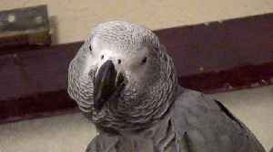 Very demanding parrot becomes overly pushy with owner [Video]