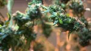 California Marijuana Sales Surge Amid COVID-19 Business Closures [Video]