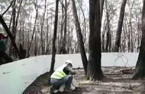 Koalas rescued from bushfire return home in Australia's Blue Mountains [Video]