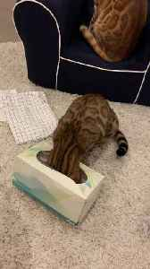 Cat Has a Heck of a Time Getting Unstuck from Tissue Box [Video]
