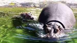 Too Cute! Watch This Newborn Baby Hippo Swim for the First Time With His Mom! [Video]