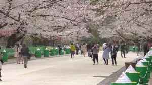 Tokyo Cherry Blossom Festival Has Less Crowds Amidst Pandemic, Still Too Many [Video]