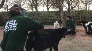 Pygmy goats get special treatment from London Zoo keepers [Video]