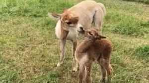 Alpaca love is just too sweet to miss [Video]
